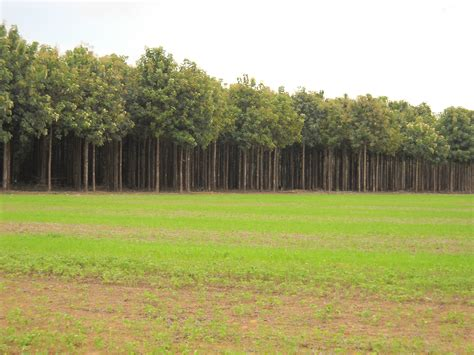 teak wood plantation driverlayer search engine