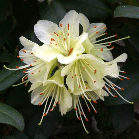 rhododendron dwarf princess anne dobbies