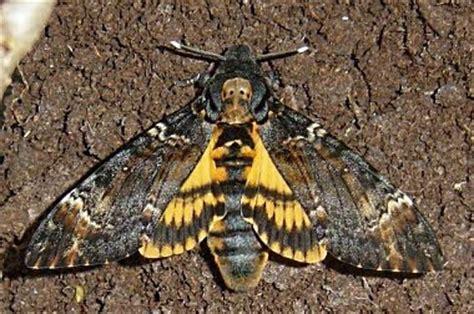 sfinge testa di morto biodiversity 1 acherontia atropos la sfinge