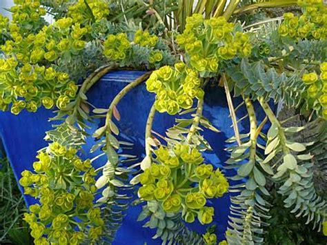 Attrayant Plantes Vivaces En Jardiniere #7: Euphmyrsin.jpg