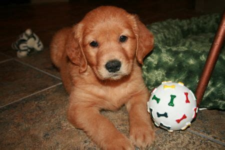 why are golden retrievers so best 25 golden retrievers ideas on golden golden retriever