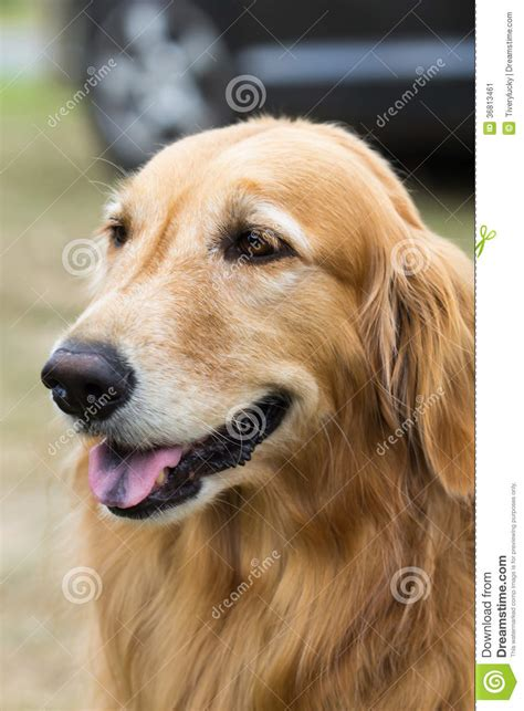 purebred golden retriever puppy purebred golden retriever stock image image 36813461