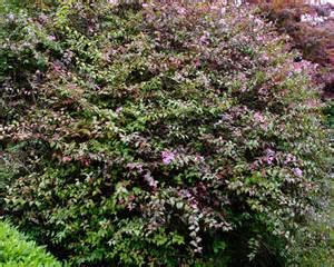 gardensonline abelia x lavender mist