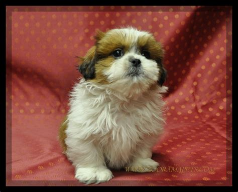 shih tzu haired chihuahua mix teacup applehead chihuahua puppies for sale quotes
