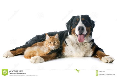 bernese mountain maine bernese moutain and cat royalty free stock image image 37444716