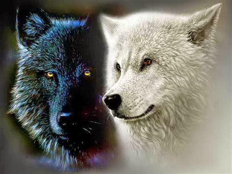imagenes en blanco y negro de lobos el lobo negro y el lobo blanco cuento cherokee