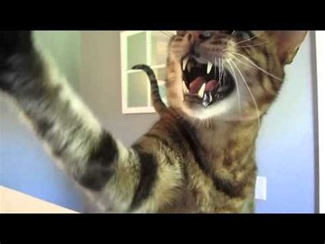 bengal cat talking screaming