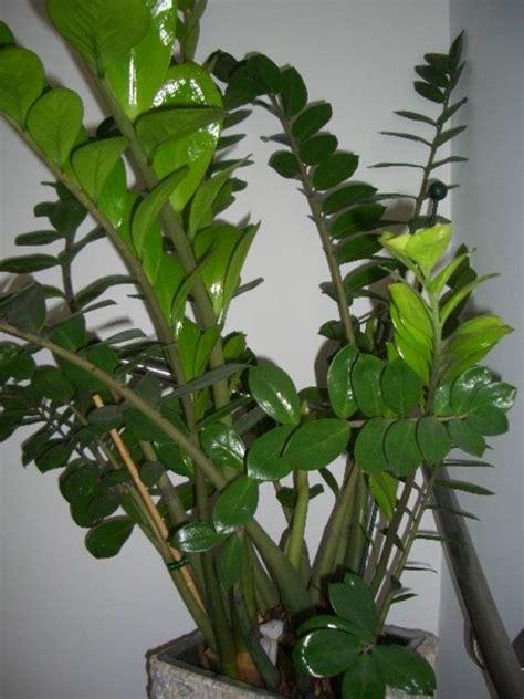 zimmerpflanzen gross sehr sch 246 n gewachsene gro 223 e zimmerpflanzen abzugeben
