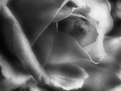 imagenes de rosas grises rosas gris