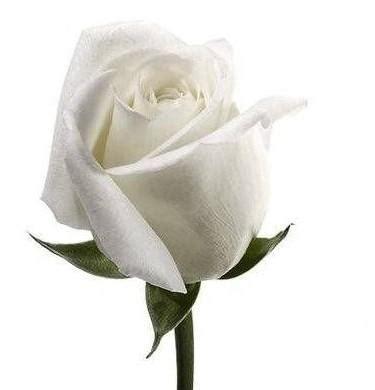 rosa blanca rose blanche rosa blanca
