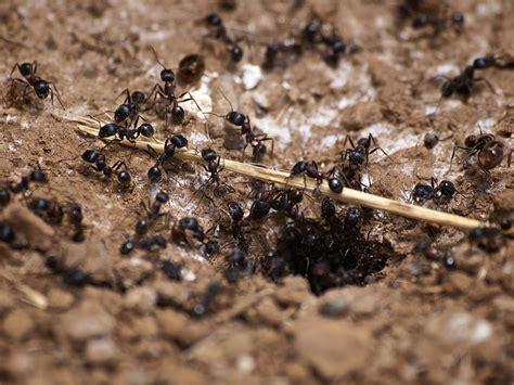 carpenter ants dead on floor how to get rid of carpenter ants methods to kill