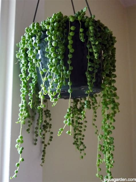 string of plant string of pearls this fascinating makes a great houseplant