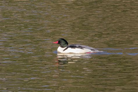 thames river animals winter waterfowl have returned to the thames river paul