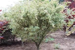 Flowering Japanese Trees - acer palmatum butterfly wholesale nursery supplies