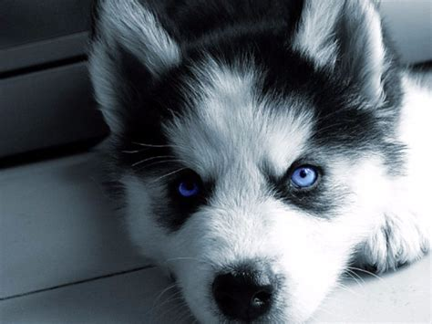 siberian husky puppy price pomsky pomeranian and siberian husky resource size price pedigree diet