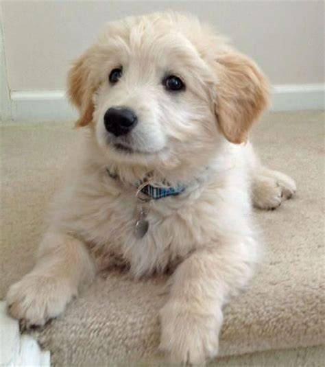 doodle retriever puppy the goldendoodle puppy breed golden retriever