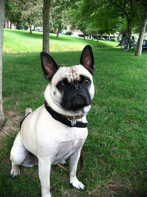 pug mixed with bulldog 61 best frugs frenchie pug images on bulldogs pug mix and