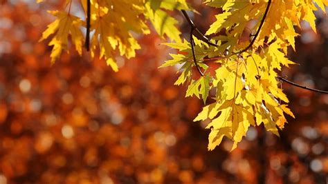 Yellow Maple Tree Leaves in Stock Footage Video (100% ... Fall Nature Wallpaper