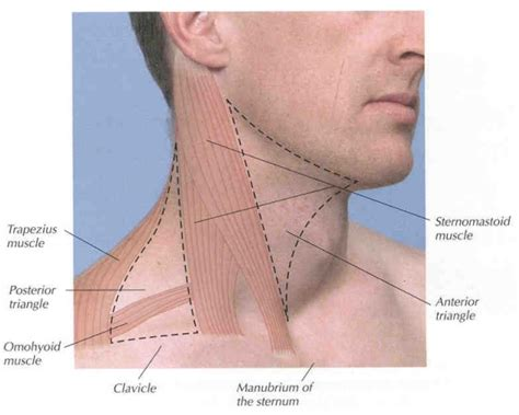 glands in the neck and throat diagram neck anatomy lymph nodes human anatomy diagram