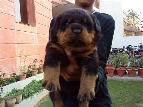 rottweiler for sale in punjab best rottweilers sukerchakia kennels punjab dogs for sale puppies for sale