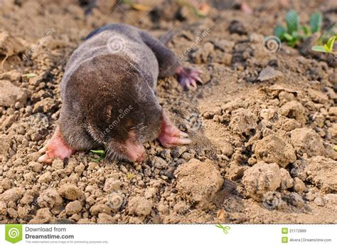 Garden Mole by Mole In Garden Royalty Free Stock Images Image 21172889