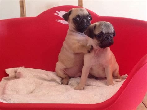 pug puppies for sale in swansea pug puppies swansea swansea pets4homes