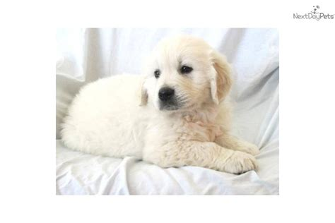 cost of purebred golden retriever need help writing an essay is this a price for a purebred golden retriever