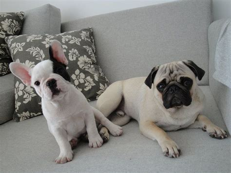 bulldog vs pug bulldog vs bulldog breeds picture