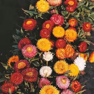 Zinnia Annual Flowers - australian seed helichrysum monstrosum mixed colours