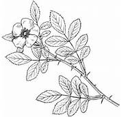 Carolina Rose Or Pasture Coloring Page