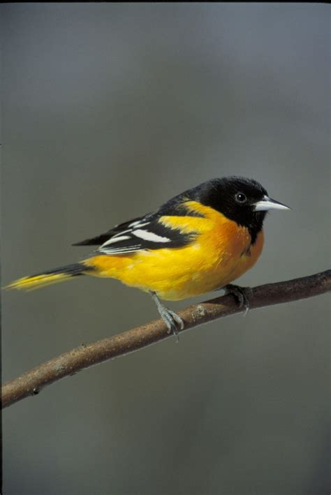 how to attract orioles to your garden