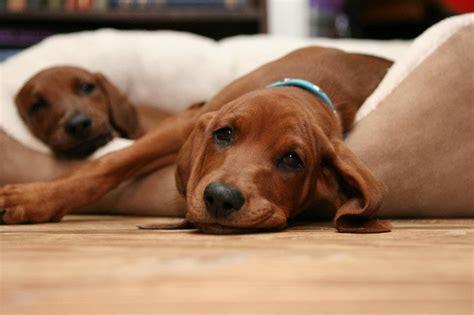 redbone puppies redbone coonhound puppy jacob s redbones