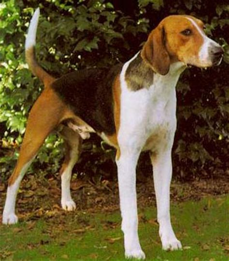 what does a walker hound dog look like american foxhound for sale