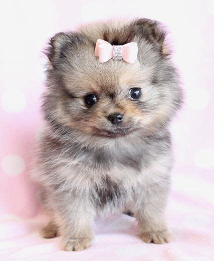 buy pomeranian the 25 best pomeranian puppy ideas on teacup pomeranian teacup