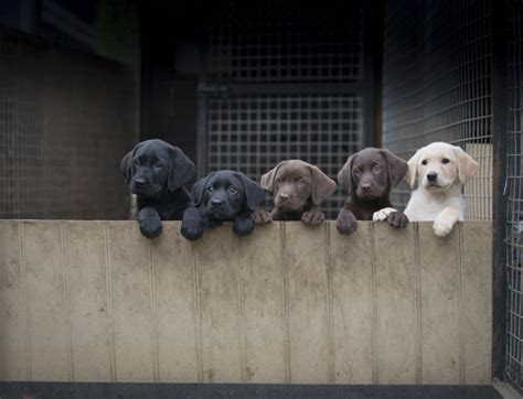 buying puppies how to buy a gundog puppy shooting uk