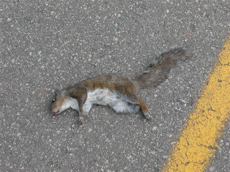 squirrel in ceiling image gallery dead squirrels