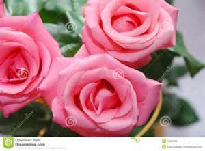 imagenes de rosas rosas hermosas rosas rosadas hermosas fotos de archivo imagen 12562263