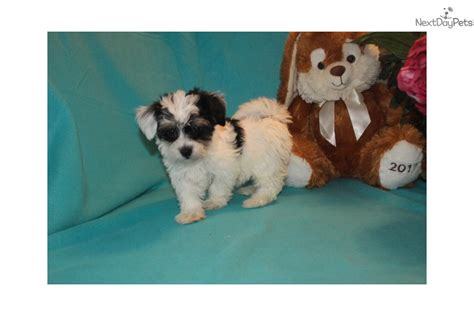 havanese puppies jacksonville fl show potential havanese puppy breeds picture