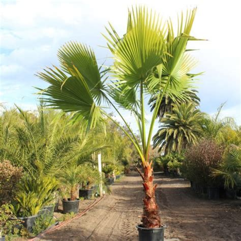 fan palm growth rate fan palm