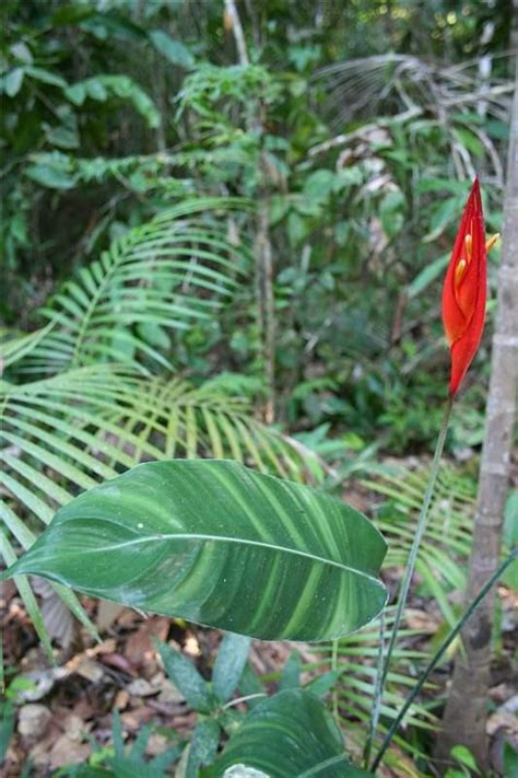 heliconia densiflora verl plants   world