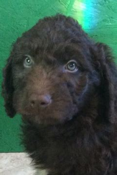 goldendoodle puppy ri view ad goldendoodle puppy for sale rhode island