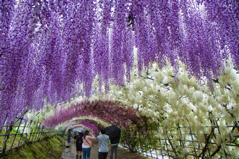 wisteria flower tunnel japan 191 el t 250 nel de flores m 225 s bonito mundo jard 237 n