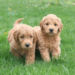 goldendoodle puppy jumping care and for your goldendoodle puppy my