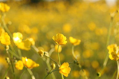 fiori selvatici gialli foto gratis fiori selvatici giallo ci immagine