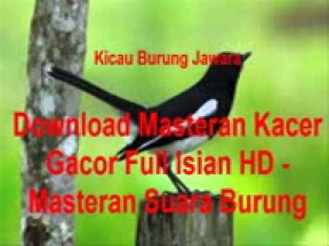 download youtube kacer download masteran kacer gacor full isian hd masteran