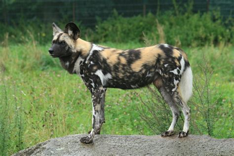 Animal of the day – 2/25/2014 – The African Wild Dog ...