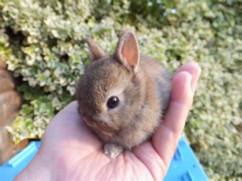 bunnies for sale near me genuine netherland baby rabbits for sale chorley