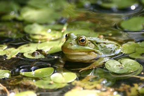 backyard frogs create a backyard frog pond frogs are green gogo papa