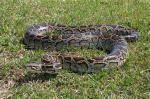 burmese python the animals kingdom