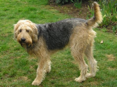 otterhound puppies otterhound breed history and some interesting facts